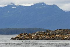 Stock Photo of steller sealions (eumetopias jubatus), inside passage, alaska, usa