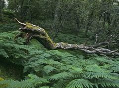 Fallen tree and ferns in an alder forest, scotland, united kingdom, europe Stock Photos