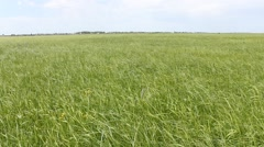 Field with a grass on a wind Stock Footage