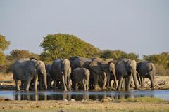 Herd of african bush elephants (loxodonta africana) at the goas waterhole, et Stock Photos