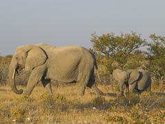 African bush elephant (loxodonta africana) with young animal, etosha national Stock Photos