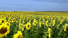 Field of sunflowers on a background Stock Footage