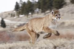 running cougar (felis concolor), montana, usa - stock photo