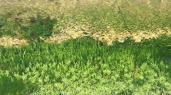 Moss in the water - stock footage