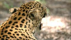 Leopard Yawning in Slow Motion - stock footage