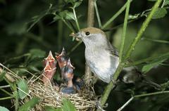 blackcap (sylvia atricapilla), female feeding offspring in the nest - stock photo