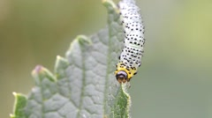 Gooseberry sawfly caterpillar (Nematus ribesi) Stock Footage