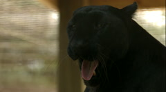 Black Leopard Yawning in Slow Motion Stock Footage