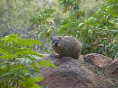 Rock hyrax (procavia capensis) in the waterberg national park, namibia, afric Stock Photos