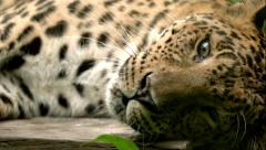 Orange Leopard Laying Down Scratching Head Stock Footage