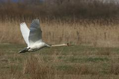 Stock Photo of mute swan (cygnus olor), beginning to fly