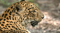 Orange Leopard Laying on Ground B-Roll Stock Footage