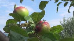 Carpathians, apples Stock Footage