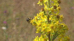 the Carpathians, the bee on yellow flowers - stock footage