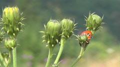 Carpathian Mountains, the ladybug on a plant Stock Footage