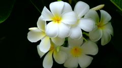 Plumeria flowers - stock footage