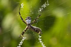 Zig-zag spider (neoscona cooksoni), ecuador Stock Photos
