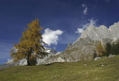 solitary larch tree in autumn in an alpine mountain landscape, hochkoenig mou - stock photo