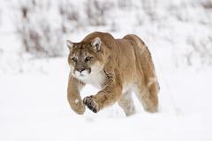 Running cougar (felis concolor) in the snow, montana, usa Stock Photos