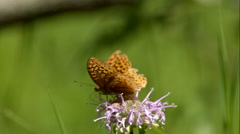 Orange and Brown Butterfly on Purple Flower Taking off Slow Mo Stock Footage