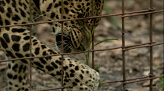 Leopard Eating Grass Slow Motion Stock Footage