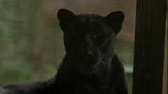 Black Leopard Shakes Head and Licks its Nose in Slow Motion Stock Footage