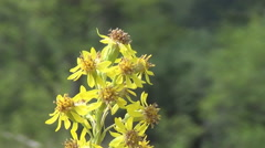 The Carpathians,  yellow flowers Stock Footage