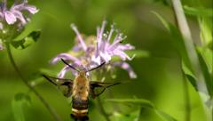 Sphinx Moth Hovering Over Purple Flower in Slow Motion Stock Footage