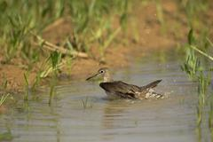 solitary sandpiper (tringa solitaria), pantanal, mato grosso, brazil - stock photo