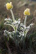Pasque flowers (pulsatilla), north tirol, austria, europe Stock Photos