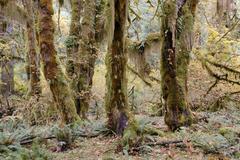 Rainforest vegetation, moss-covered tree trunks and ferns, hoh rain forest, o Kuvituskuvat