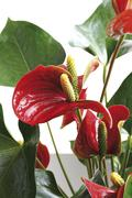 Flamingo flower or boy flower (anthurium-scherzerianum) Stock Photos