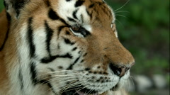 Tiger Closeup B-Roll Stock Footage