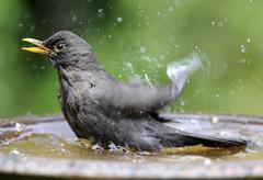 Blackbird, common blackbird or eurasian blackbird (turdus merula), female bat Stock Photos