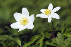 flowering wind anemones in spring, wind flower (anemone nemorosa) - stock photo