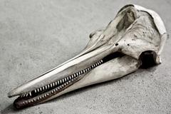 Cranium of a white beaked dolphin (lagenorhynchus albirostris) Stock Photos