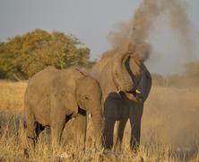 african bush elephants (loxodonta africana) throwing dirt up near the goas wa - stock photo