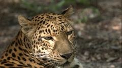 Leopard Laying in the Shade B-roll Stock Footage