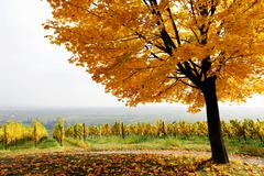 Vineyard with tree in autumn on the suedliche weinstrasse, southern wine rout Stock Photos