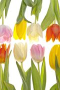 Stock Photo of two rows of different coloured tulips