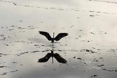 grey heron (ardea cinerea) spreading its wings, reflection in the wadden sea, - stock photo