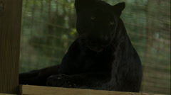 Black Leopard Rolling Over in Slow Motion Stock Footage