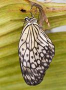 the paper kite butterfly hatching from pupa - stock photo