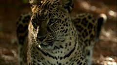 Leopard Laying Down and Rolling on its Back B-Roll Stock Footage