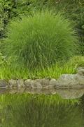 japanese grass sedge (carex morrowii), variegata, japanese garden, klein flot - stock photo