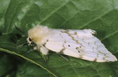 Stock Photo of gypsy moth (lymantria dispar), female