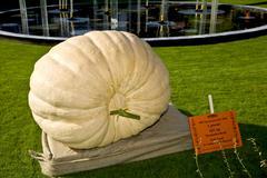 The danish number one 335 kilos giant pumpkin, denmark Stock Photos