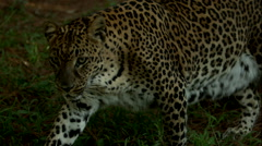 B-Roll of Leopard Walking and Laying Down Stock Footage