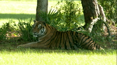 Tiger Laying in the Shade B-Roll Stock Footage