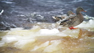 Stock Video Footage of Close-up view at drifting ice in river and ducks